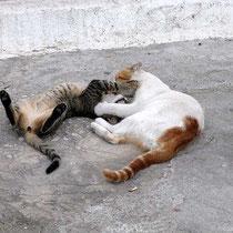 Balgende Katzen