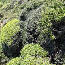 Dornige Bibernelle, noch grün
