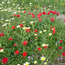 Amorgos: Blumenwiese