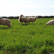 Sagte ich schon, dass es hier viel Schafe gibt?