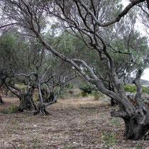 Milos: Ölbäume