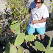 ... von Kaktusfeigen