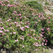 Karpathos: Oleander am Weg von Olymbos nach Diafani