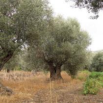 Oliven und Tomaten