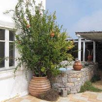 Granatapfelbaum...