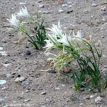 Strandlilien
