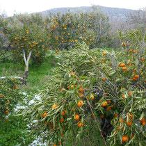 Zusammengedrückte Orangenbäume