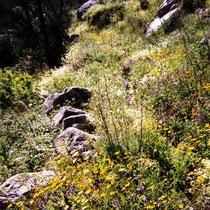 Serifos: Blühenden Flora