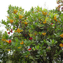 Erdbeerbäume