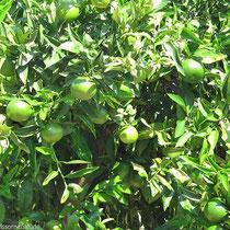 Grüne Mandarinen