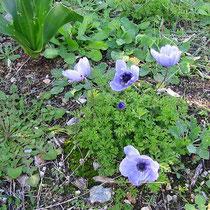 Blaue Mohnblume-Anemonen