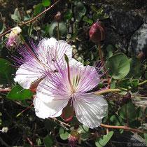Kapernblüten