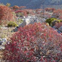 Karpathos: Euphorbien