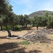 ...durch einen Olivenhain