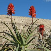 Tintenfisch- oder Baum-Aloe