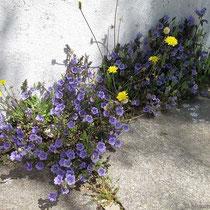 Hartnäckige Blumen