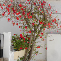 Karpathos: Bouganibvillea in Diafani