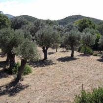 Sehr gepflegter Olivenhain