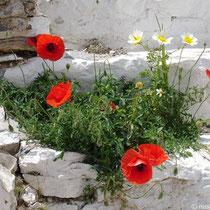 Amorgos: Mohn am Kloster