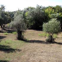 Olivenbäume bei Agios Giorgios Vassilikon