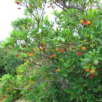 Noch mehr Erdbeerbäume