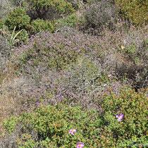 Thymian und andere Stachelpflanzen