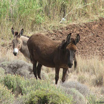 Neugierige Esel