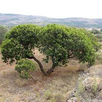 Buckeliger Mastixbaum