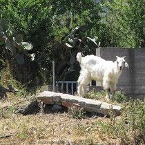 Noch mehr Ziegen