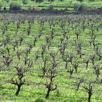 ....und Weinfelder