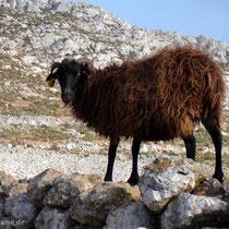 Chalki: Schaf