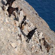 Kreta: Ziegen bei Chora Sfakion