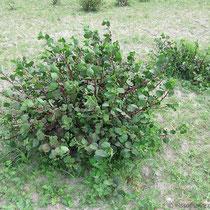 Kapernbusch