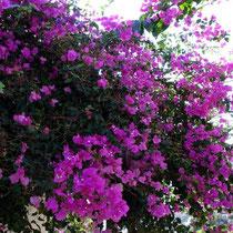 Kreta: Bougainvillea in Chora Sfakion