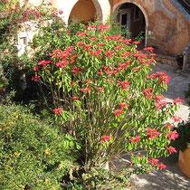 Weihnachtsstern Euphorbia pulcherrima