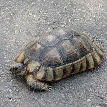 Griechische Landschildkröte
