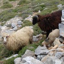 Erschreckte Schafe