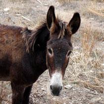 Kea: Freundlicher Esel