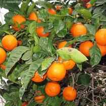In voller Frucht
