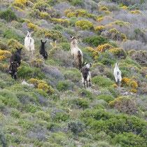 Fliehende Ziegen