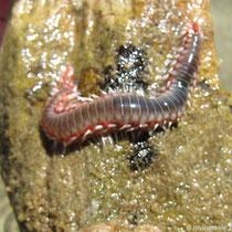 Meerwurm
