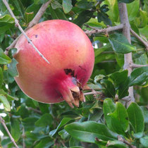 Granatapfel in Loutro