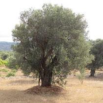 Aufrechter Olivenbaum