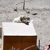 Verpennter Wachhund