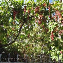Noch mehr Weintrauben