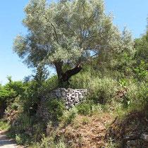 Oliven in gemauertem Rondell