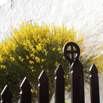 Folegandros: Blühender Ginster bei der Panagia-Kirche
