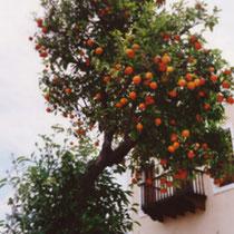 Kastellorizo: Orangenbaum
