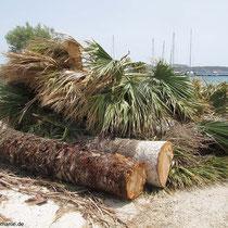 Die Palmen mussten dran glauben. Palmrüssler?