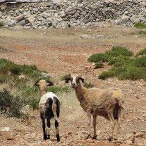 Schaf vorher